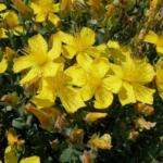 175 Hypericum polyphyllum