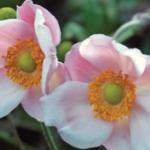 Anemone hybrida Richard Ahrens