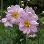 Anemone hybride Konigin Charlotte
