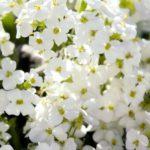 Arabis caucasica Snowfix