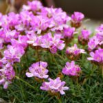 Armeria juniperifolia New Zealand Form