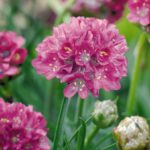 Armeria maritima Morning Star Deep Rose