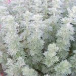 Artemisia arborescens Powis