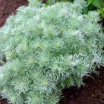 Artemisia schmidtania Nana
