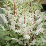 Astilbe arendsii Rock and Roll