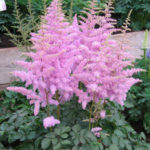 Astilbe chinensis Hearth and Soul