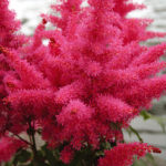 Astilbe hybrida Drum & Bass
