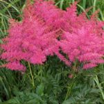 Astilbe hybrida Younique Cerise