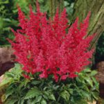 Astilbe hybrida Younique Red