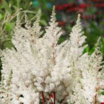 Astilbe hybrida Younique White
