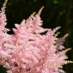 Astilbe japonica Peach Blossom