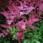 Astilbe simplicifolia Key Largo