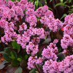 Bergenia hybride Spring Fling