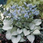 Brunnera macrophylla Looking Glass