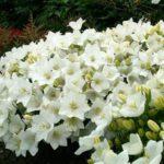 Campanula carpatica 'Pearl White'