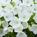 Campanula carpatica Pearl White