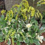 Chiastophyllum oppositifolium Jim's Pride