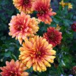 Chrysanthemum coreanum Дубок