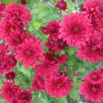 Chrysanthemum coreanum Красная Москва