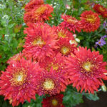 Chrysanthemum coreanum Лето