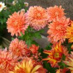 Chrysanthemum koreanum Бархан