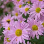 Chrysanthemum rubellum Dlara Curtis