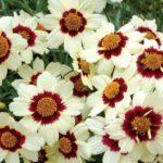 Coreopsis verticillata Snowberry