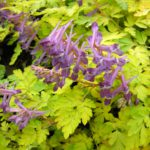Corydalis shihmienensis Berry Exciting