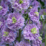 Delphinium Highlander Sweet Sensation