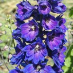 Delphinium Magic Fountain Dark Blue, Dark bee