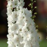 Delphinium Magic Fountain Pure White