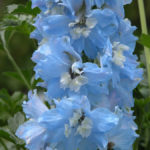 Delphinium Pacific Summer Skies