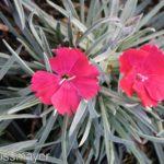 Dianthus gratianopolitanus Badenia