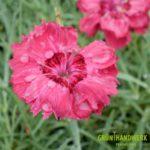 Dianthus gratianopolitanus Rotkaeppchen