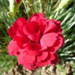 Dianthus plumarius Desmond