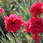 Dianthus plumarius Heidi