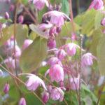 Epimedium youngianum Roseum