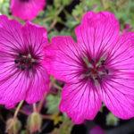 Geranium cinereum Carol