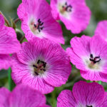 Geranium cinereum Jolly Jewel Hot Pink