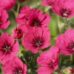 Geranium cinereum Jolly Jewel Raspberry