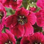 Geranium cinereum Jolly Jewel Red