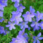 Geranium himalayense Baby Blue3