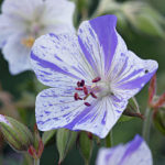 Geranium pratense Splish Splash