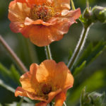Geum hybride Totally Tangerine