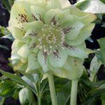 Helleborus orientalis Double Ellen Green