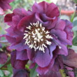 Helleborus orientalis Double Ellen Purple