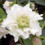 Helleborus orientalis Double Ellen White