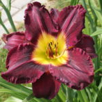 Hemerocallis All American Plum