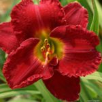 Hemerocallis Christmas Wishes