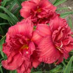 Hemerocallis Double Firecracker